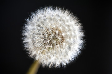 Dandelion ripe fruit macro (Taraxacum officinale) over black