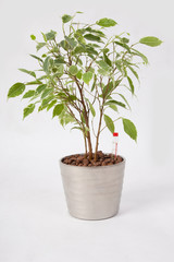 Hydroponics Ficus Benjamina