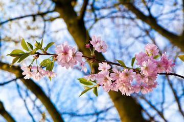 Sakura pink flower