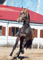 beautiful ahalteke  stallion in motion