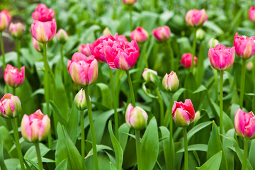 colorful tulips.  Beautiful spring flowers. Spring landscape