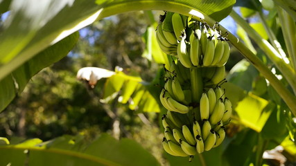 Bananas on the tree stock footage