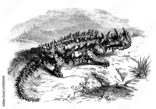"""Australian Lizard : the """"Moloch"""""""