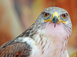 close-up of a hawk with big eyes that stare at you
