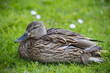 wild duck in grass