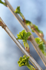 Currant branch