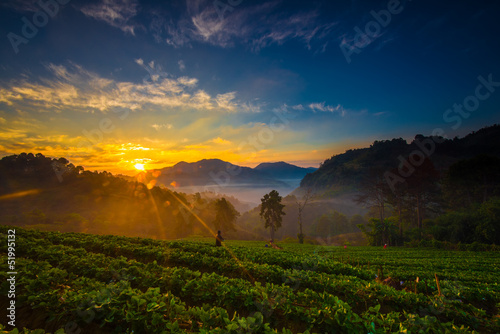 Tea plantations in the morning