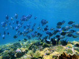 Shoal of Blue Tang fish and Ocean Surgeonfish