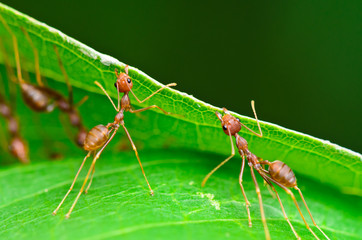 Oecophylla smaragdina (common names include Weaver Ant, Green An