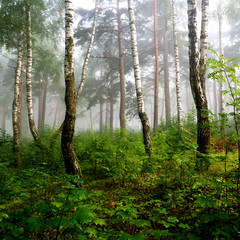 a north forest in fog. Latvia