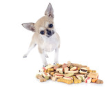 chihuahua and dry food