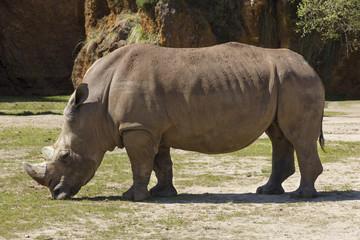 Rhino (Rhinocerotidae)