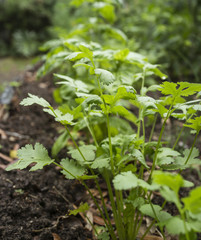 Cilantro Plant in the Garden also called Coriander and Chinese P