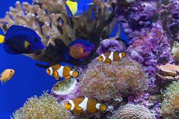 Amphiprion ocellaris ( Clown Fish )