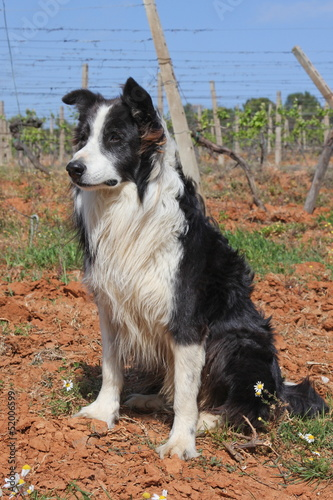 Border collie, maschio adulto - Adult male Border Collie