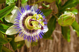 Passionflower and bud