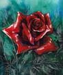 Red rose watercolor painted