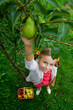 Fruit garden - lovely girl picking ripe pears