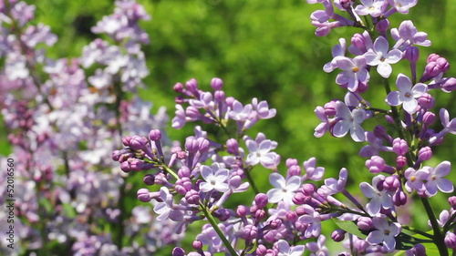 White blooming lilac bushes in the forest...