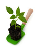 paprika seedling on garden shovel