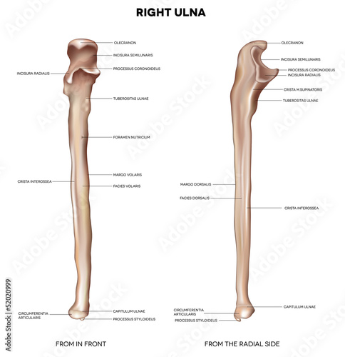 Ulna. Detailed medical illustration..