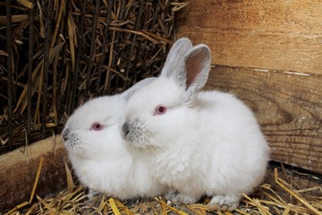 Пара кроликов .