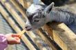 仔山羊の餌やり/ニンジン