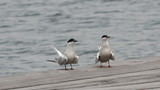 Gulls (Common Tern) sitting on the berth