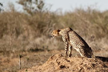 Gepard Cheetah in Tsavo National Park Kenya