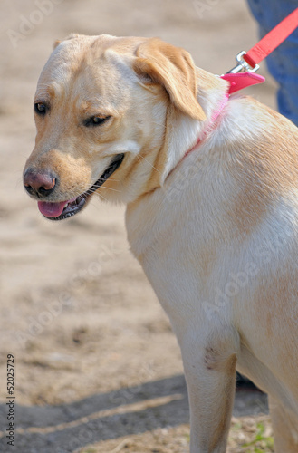 Labrador retriever breed dog