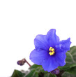 African violet on white background.