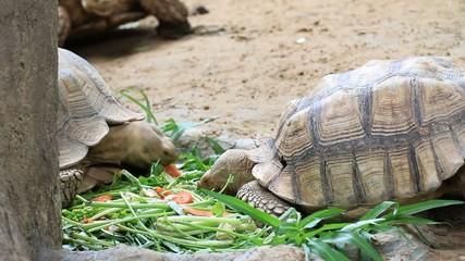 Turtle feeding vegetable