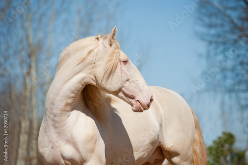 perlino lusitano horse with blue sky background