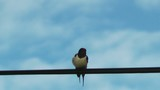 Bird singing on a telephone wire singing - Swallow Bird