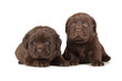 Two Chocolate Labrador Retriever Puppies