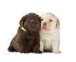 Chocolate & Chocolate Labrador Retriever Puppies