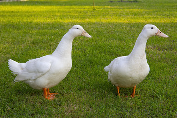 Cute white ducks