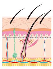 頭髪などの終末性毛包皮膚構造のイメージイラスト