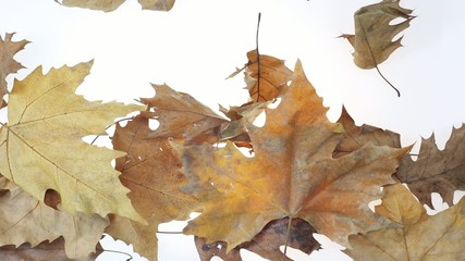 falling leaves in stop motion over white