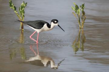 Black-necked Stilt (Himantopus mexicanus) Wading in a Pond
