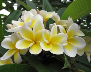 Frangipani (plumeria) flowers