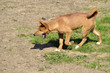 Young dingo (Canis lupus dingo) walking the mouth open