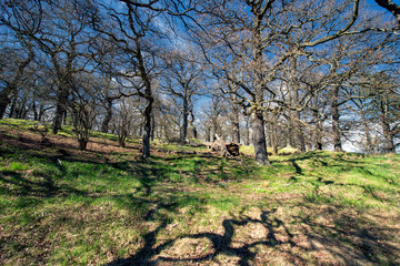 Old oak grove at springtime in Sweden