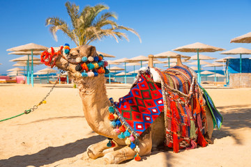 Camel resting in shadow on the beach of Hurghada, Egypt
