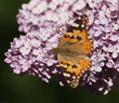 Butterfly on Syringa, lilac flower background