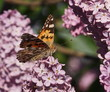 Butterfly  lilac flower background