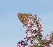 Butterfly on lilac flower background