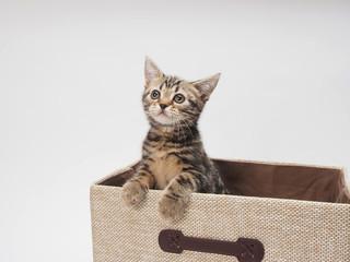箱から顔をだす子猫