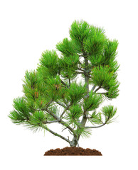 pine, isolated
