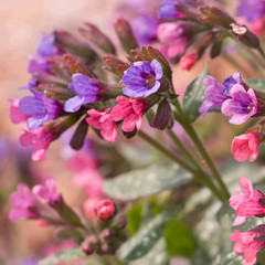 Flowering lungwort